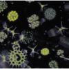 湖泊暖化與水位穩定化造成藻類稀有物種消失