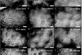 Spatial variation in the morphological traits of Pocillopora verrucosa along a depth gradient in Taiwan